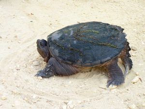 photo credit: Snapping Turtle via photopin (license)